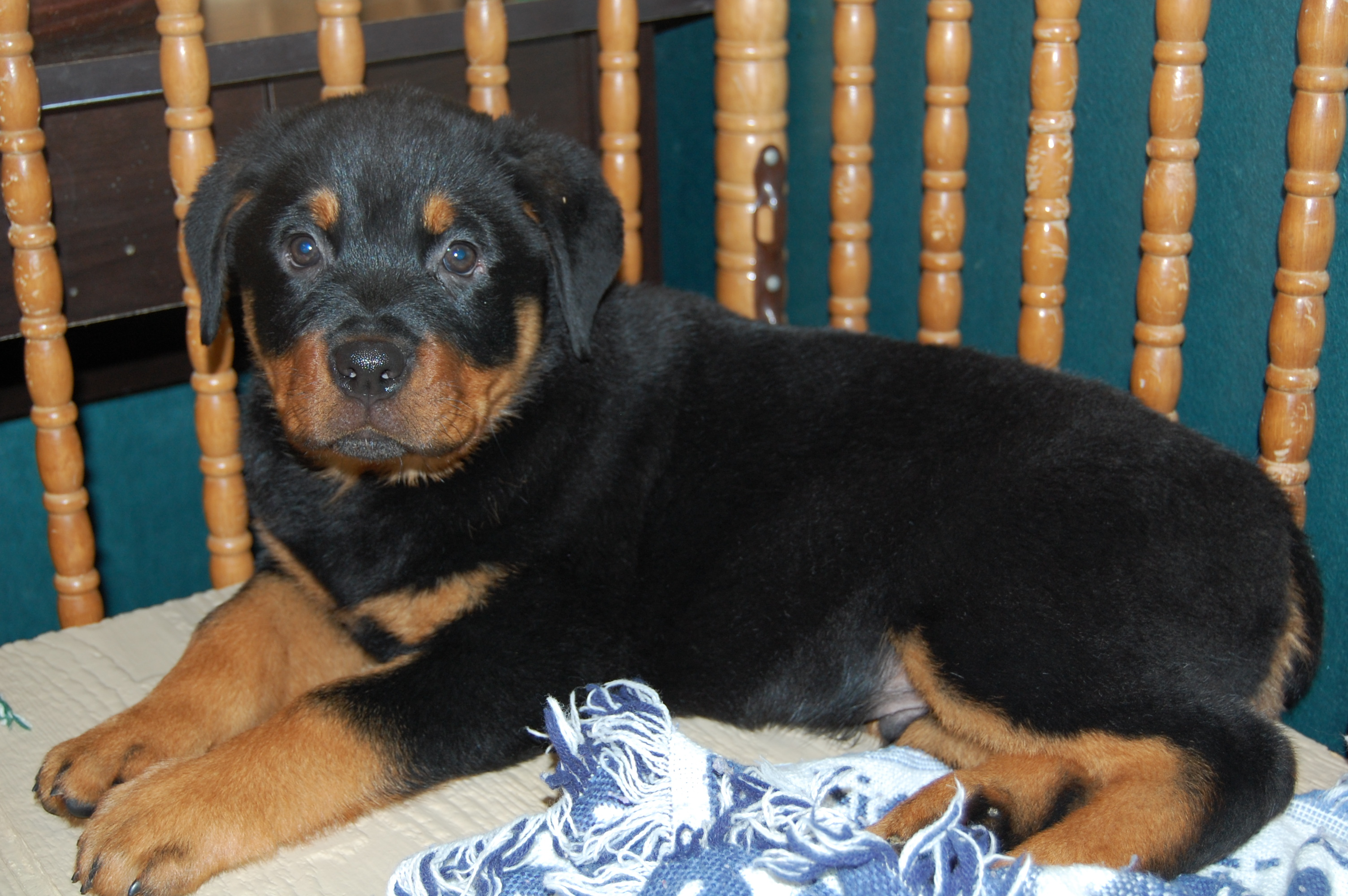 Oversized Rottweilers Virginia Rottweiler Kid Friendly